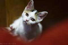 Ain't alone no more, Mia. (miyukiz4 su ood) Tags: cat kitten  gttino chaton gatito ktzchen gatinho