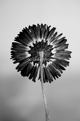 KB Flowers (5)_marked (LewisWhitePhotos) Tags: karlblossfeldt karl blossfeldt photographer flowers unusual stufio studio studioshoot flowershoot photo pictures blackandwhite black white shapes detail wildlife plants nature colour texture flowerphotography monochrome depth field organic pattern