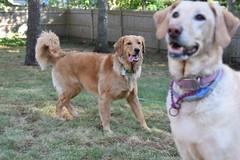 DSC_0098 (ghoulia) Tags: goldendoodle goldenretriever poodle labradoodle labrador rovercom dogvacay