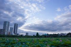 GR001766.jpg (Ryo) Tags: lotusflowers 28mm ueno shinobazunoike tokyo japan ricohgrii