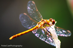 Dragonfly - dragonfly02-IMG_9894 (pete1074) Tags: fairburnings fairburn nature naturereserves rspb rspbfairburnings wildlife insects butterfly dragonfly macro peterjcarr petercarrphotography flickrpete1074 petecarr yorkshire westyorkshire