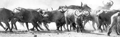 Rolling Thunder (philnewton928) Tags: capebuffalo capebuffaloherd buffalo buffaloes herd synceruscaffercaffer mammal animal animalplanet wild wildlife nature natural phalaborwa kruger krugernationalpark africa southafrica outdoor outdoors safari nikon nikond7200 d7200 blackandwhite monochrome bw blackwhite