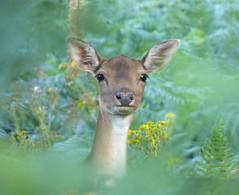 Fallow Deer (Peanut1371) Tags: fallowdeer fallow deer mammal cannockchase nationalgeographicwildlife