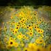 Sonnenblumenstreifen
