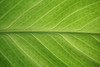 leaf, backlighted (max:mazz) Tags: rx100m2 leaf foglia backligt retroilluminazione macro green natura nature topf150