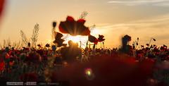 Amapolas (David Fotografa) Tags: sunset flowers poppies amapolas colores colors summer