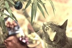 A little off-season (DeeAshley) Tags: artsy indoors 40mm playful tabby mascota pet portrait face cute soft lights christmas shimmery blur bokeh jack gatito gato kitten cat dfw sony 2016 texas fun ar7ii photography adventures interesting