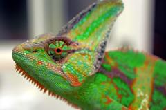 Camalen II (chameleon) (breakbxnes) Tags: animal macro green chameleon nature park flickr reptil profundidad de campo 2016 lagarto lizard chamelo camaleon naturaleza color d5200 nikon