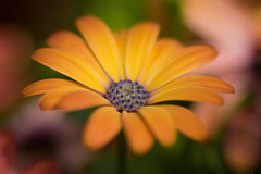 Warm flower (Garian Photography) Tags: sony vivitarseries190mmf25 a7 bokina flora flower macro mflenses lightroom topaz denoise clean highlands scotland
