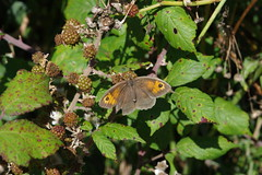 Butterfly (Derek Morgan Photos) Tags: butterfly pennington penningtonmarsh lymingtonkeyhavennaturereserve