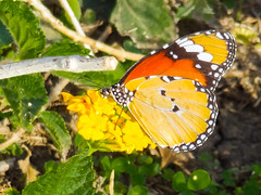 Plain Tiger (Danaus chrysippus) (Mac ind Óg) Tags: garden plaintiger egypt danauschrysippus insect butterfly holiday sharmelsheikh southsinaigovernorate africanmonarch autumn