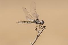 The Black Pennant. Iberian Odonata (Explore 22.08.2016) (jrosvic) Tags: selysiothemisnigra dragonfly libelula odonata freehand nikon300mmf4 nikond2xs entomology entomologia laazohia murcia cartagena spain summer anisoptero