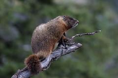 Yellow-bellied Marmot (Marmota flaviventris) posing nicely (RonW's Nature Photography (thanks for over 1 milli) Tags: yellowbellied marmot marmotaflaviventris marmota flaviventris mammal mammals usa us unitesstates grandtetonnp teton animal wildlife nature canon 7dii 100400ii