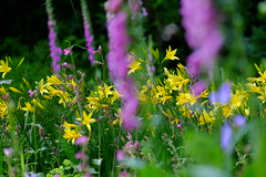 DSCF5201 (Myrtxx) Tags: flower flowers yellow purple garden
