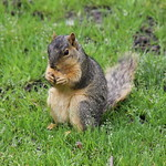 Squirrels at the University of Michigan (May 15, 2015) thumbnail