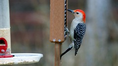 Red-bellied Woodpecker, Home, 05/03/15 (TonyM1956) Tags: tonymitchell duluth stlouiscounty minnesota nature birds woodpeckers redbelliedwoodpecker sonyphotographing sonyalphadslr