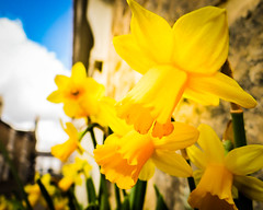 Springtime (Platinum-Images) Tags: spring northumberland daffodil corbridge