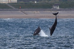 IMG_56186 (walter.innes) Tags: dolphins aberdeenharbour walterinnes