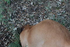 Babel cavando desde atrs III (lapelan) Tags: de la agujero campo cerrado serra solitario tarde ftbol babel tierra perra hierba vaco solos bellotas cavar batet