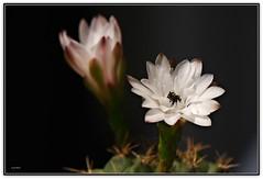 Fiori di mammillaria (Schano) Tags: cactus flower nature garden photo mediterranean mediterraneo grasse fiori cactaceae makro fiore pianta macroflowers macrofotografia cactacea grassa macrofotografias top20flowers piantagrassa fioredicactus excellentsflowers mimamorflowers ilce3000 sonyilce3000 sonyemount55210 sony3000