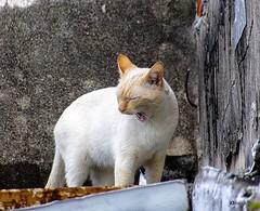 Gato Branco (Di Malagutti) Tags: animal gatos gato gatobranco gatosbrancos