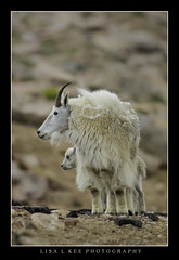 """Protective Momma"" (Lisa L Kee Photography) Tags: lisalkee lisalkeephotography canon7d canon colorado 30thanniversarytrip wildlife nature goat mountaingoat mtevans"