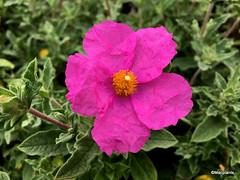 Cistus 'Warley Rose'
