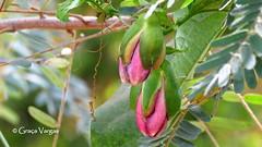 bud ( Graa Vargas ) Tags: passionflower flordemaracuj passifloracaerulea passiflora flower graavargas2016allrightsreserved pink bud flowers graavargas 13704270816