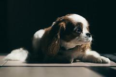 Calvin. (FlorianPascual) Tags: light dog pet white france cute beautiful animal hair eyes fear florian pascual 500px ifttt