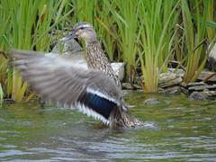 Mallard (stuartcroy) Tags: orkney island duck mallard beautiful bird bay