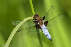 Dragonfly (Baljinder.Gill) Tags: dragonfly wildlife wildlifephotography wildlifenature wildlifeupclose insect insectphotography insects nikon nature naturephotography naturewildlife naturemacro macro macronature macrophotography macroinsect