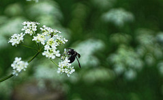 Bee Happy (Sarah Fraser63) Tags: bee bumble insect flower flora white green nature outside outdoors