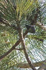 Pygmy Nuthatch (Wild Bird Company) Tags: pygmynuthatch sittapygmaea pygmynuthatchcolorado pygmynuthatchboulder wildbirdboulder wildbirdcolorado wildbirdcompany formerwildbirdcenter birdseed birdwalk meyersgulch walkerranchopenspace bouldercountyparksandopenspace stevefrye