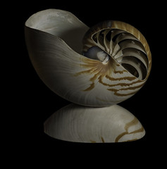 Reflecting On A Nautilus Shell (Bill Gracey) Tags: mirror reflection shell seashell nautilidae offcameraflash yn560iii lastoliteezbox softbox directionallight sidelighting blackbackground workshop photoclub nature shapes shadows