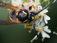 Bart (michaelmueller410) Tags: wespe insekt insect wasp flower blossom blüten harz osterode olympusepl5 fühler august sommer wald