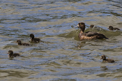 Tufted Duck with brood of 6 (Baractus) Tags: uk john duck lakes tufted warwickshire oates earlswood