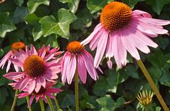 Zonnehoed 2015 2 (megegj)) Tags: flower fleur blume gert bloem