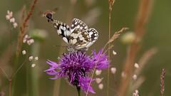 Essence of summer...................... (nick.linda) Tags: butterflies bee northeastengland magical mystical essenceofsummer marbledwhitebutterfly melanargiagalathea butterfliesonflowers wildflowermeadows wildandfree insect canon7dmkii sigma150600c