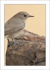 Hola, pajarita sin cola (V- strom) Tags: naturaleza luz fauna recuerdo ave mirada pjaro colirrojo