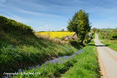 English Countryside in the Springtime (Holfo) Tags: flowers landscape trees yellow shropshire nikon d5300 colour spring springtime countryside blue bluebells rapeseed fields lane outdoor
