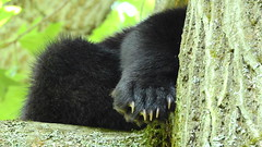 Black Bear & her 3 cubs. (Jim Mullhaupt) Tags: blackbear bear animal cub mother ursusamericanus omnivorous mammal deepwood elktownship nature animals creatures summer alleghenyriver kinzua alleghenynationalforest vacation travel warrencounty warren outdoor boating fishing jimmullhaupt trees forest landscape wallpaper pennsylvania russell scandia redoak camping cabins bearclaws claws photo flickr geographic picture pictures camera snapshot photography nikoncoolpixp900 nikon coolpix p900 nikonp900 coolpixp900