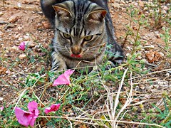 Peque.......... No os comis las campanillas.! (adioslunitaadios) Tags: macro gato campo fujifilm mascota airelibre campanillas gatocomn