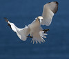 Sky dance of the Northern Gannet (vagabond05) Tags: ngc gaspepeninsula canada2016