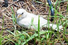 Leucistic House Sparrow Fledgling (--Anne--) Tags: white bird nature birds wildlife sparrow albino housesparrow rare naturephotography animalphotography leucistic wildlifephotography whitesparrow