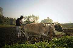 Majuli Island (fredcan) Tags: india southasia northeast assam island majuli riverisland morning landscape field man mising farmer work labour plowing silhouette oxen bulls agriculture ruralindia light atmosphere sunrise dawn travel fredcan