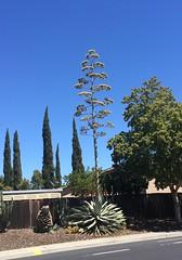 Cactus (Brave Heart) Tags: livermoreca livermore ca iphone outside tallcatcus tall plant catcus