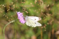 Klfjril 'Pieris brassicae' (P upptcktsfrd i naturen) Tags: blberga augusti 2016 fjril fjrilar klfjril pieris pierisbrassicae pierini pierinae ktavitfjrilar pieridae vitfjrilar ktadagfjrilar papilionoidea