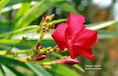 ~  ~Red Oleander (sajan-164) Tags: red india west bengal oleander tagore rabindranath santiniketan bolpur korobi sajan164 rokto