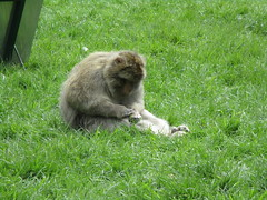 Trentham Monkey Forest (louisejaynemunton) Tags: trenthammonkeyforest monkey barbarymacaque england staffordshire
