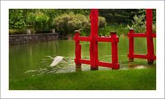 Away From the Red (Ebanator) Tags: egret greategret ardeaalba brooklynbotanicgardens newyorkcity brooklyn japanesegarden waterfowl maxxumaf2885mmf3545 minoltamaxxumaf2885mm sonya850